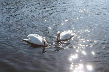gaily: two white beautiful birds-- swans swim on the shining surface of the ripple river Stock Photo