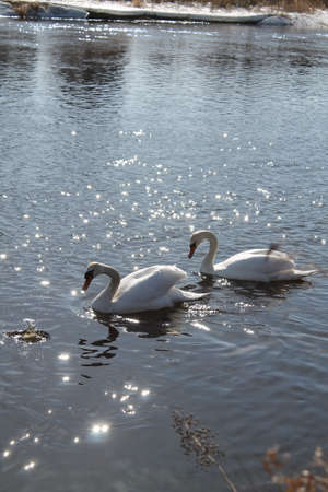 gaily: beautiful pure adult white swans in shining water