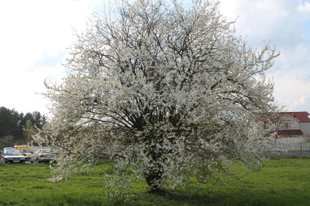 lea: apple tree on green lea in full amazing spring bloom Stock Photo
