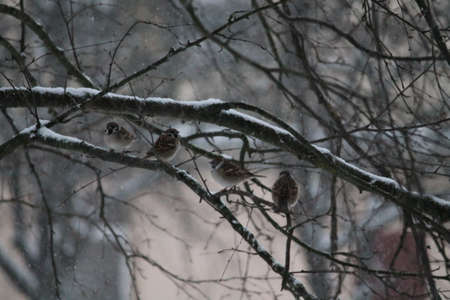 catbird: four city sparrow sit on branch under pure  snow Stock Photo
