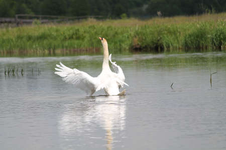 white color wild swan with open wings take bath in river