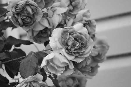 bloom bush of french rose in black and white retro style Stock Photo