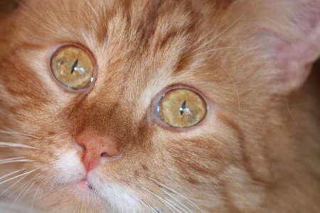 beautiful yellow eyed cat curious look big plan of cute mug