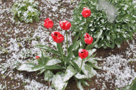 beautiful bright red color tulips in full spring bloom covered white fluffy snow