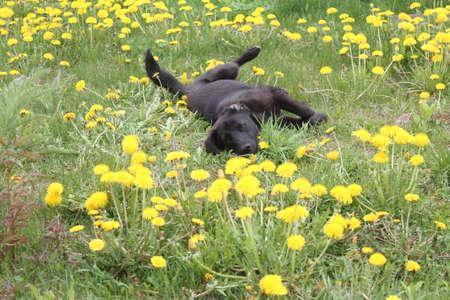 노란색 꽃에서 생생한 검은 강아지 플레이 따뜻한 화창한 날에 민들레 꽃