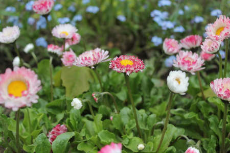 pink terry garden daisy in full spring bloom grow in garden Stock Photo