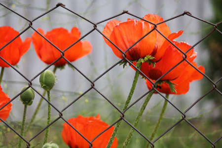 bright red garden poppies in pompous summer bloom