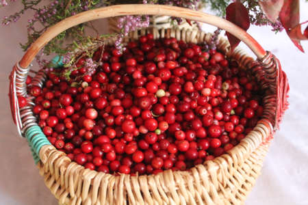 ripe deep red color cranberry in to willow basket prepare for made marmalade