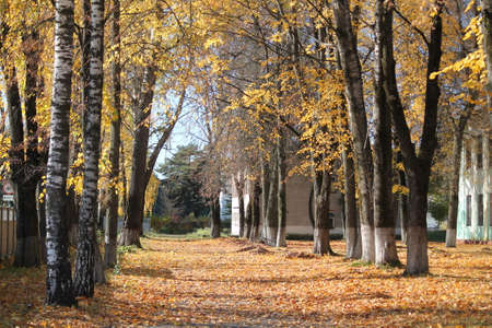 run way: beautiful alley from birch tree in city park covered golden foliage in warm sunny autumn day