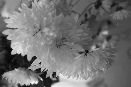 white amazing chrysanthemum garden flower in bloom decoration and symbol of royality