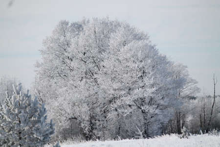 beautiful trees in white ice look magic and mystic in sunny winter day
