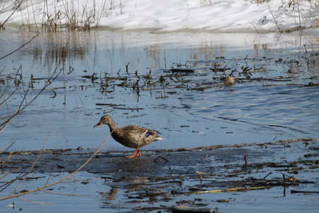 young female wild duck fast run on blue water of the river in sunny spring day