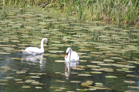 beautiful white couple of wild swan bird fishing in old pond in summer day Stock Photo