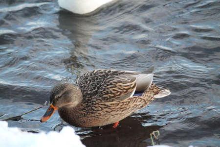 duck bird female rest on river bank Archivio Fotografico