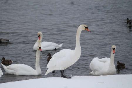 swan birds on snow