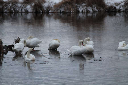 wild swan birds rest in river