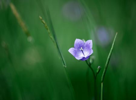 Flower of bell in the field