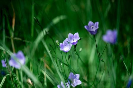Summer landscape. High green grass and mauve flowers of bells 版權商用圖片