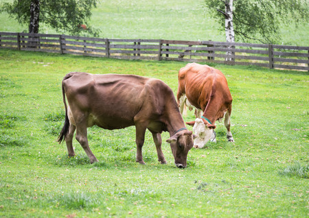 Cows in the alpine meadow eat grass. 版權商用圖片