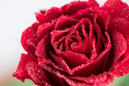 Red rose covered with drops of dew