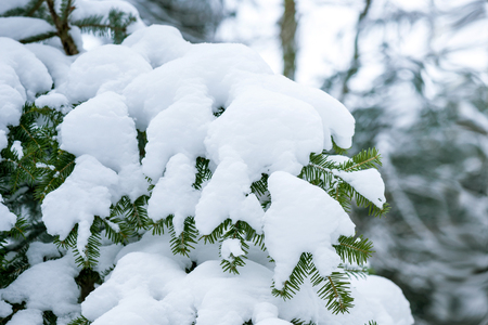A branch of spruce under a large layer of snow.
