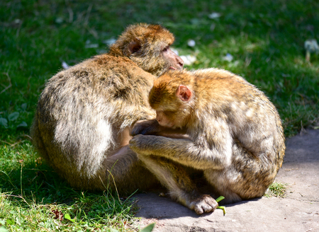 Macaque couple sitting on the grass.