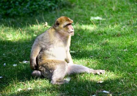 Barbary macaque in their habitual habitat. 版權商用圖片