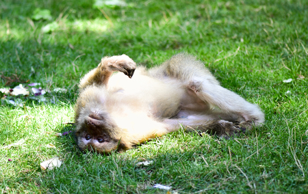 Barbary macaque on the grass.