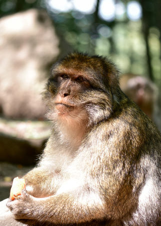 Barbary macaque in their habitual habitat. 版權商用圖片 - 93512514