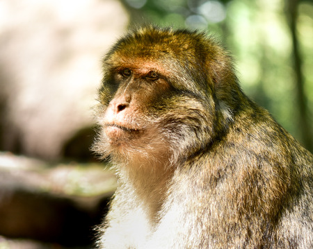 Barbary macaque.