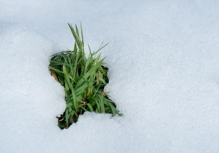 Thawed patch. Green grass under white snow.