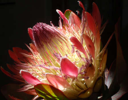 prince of peace: Mysterious Prince Protea Cynaroides with bright central light and black background Stock Photo