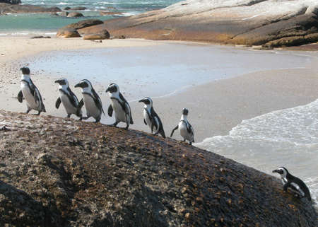 cape of good hope: Funny Southafrican Penguins climbing-Spheniscus demersus
