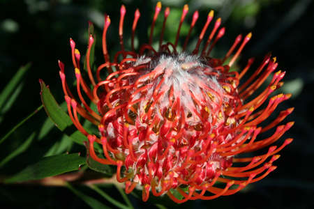Pincushion Southafrican Red protea  Proteaceae  from left side with dark background  Stock Photo
