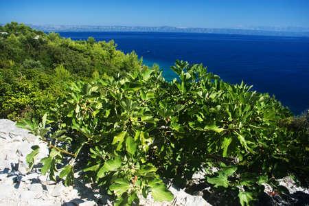 Fico con il mare blu su sfondo in Korcula, Croazia
