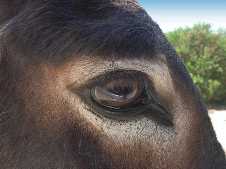 Donkey eye with watchful expression at Golgo upland photo