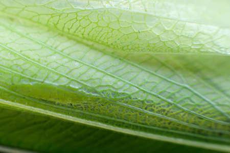 foreleg: Macro detail of a praying mantis wing looking like a leaf Stock Photo
