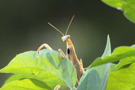 Male praying mantis standing on a green leaf in a garden