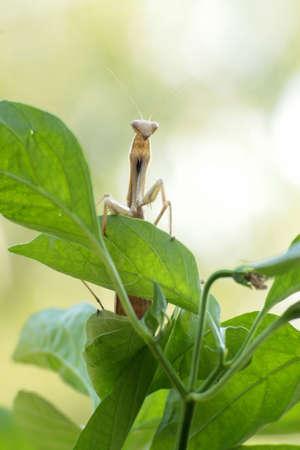 Maschio mantide religiosa in piedi su una foglia verde in posizione frontale