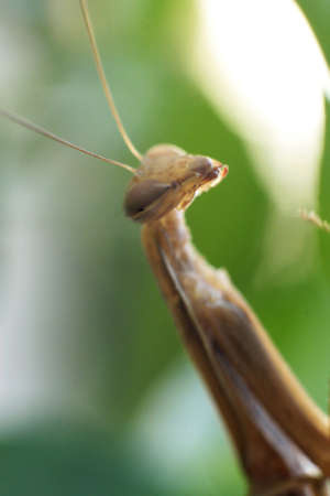 foreleg: Close up shot of Male praying mantis in a garden