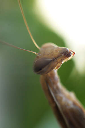 foreleg: Male praying mantis face in a close up shot while waiting