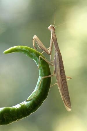 Praying Mantis in attesa su un ramo verde riccio di peperoncino