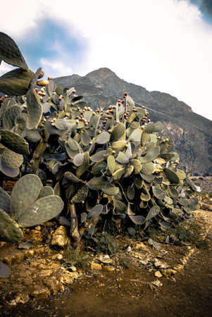 Prickly Pear bush on a desert path on the mountain in Sicily Italy photo