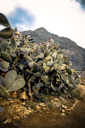 Prickly Pear cespuglio su un sentiero deserto montagna in Sicilia Italia