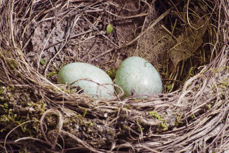 Blackbird nest with two eggs vintage style Stock Photo
