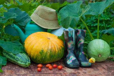 Fresh Organic Vegetables And Garden Tools. Pumpkins, Vegetable Marrow, Red Tomatoes, Rubber Boots, Watering Can And Wicker Hat On Old Wooden Painted Table In Summer Vegetable Garden.