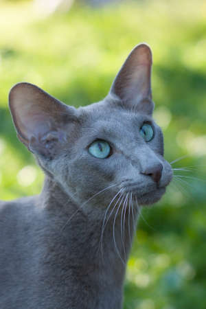 Oriental Shorthair Gray Cat outdoors In Summer. Oriental Breed. Close Up.