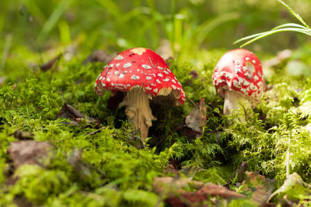 muscaria: Poisonous Mushroom. Two Red Amanita Muscaria On Green Moss In Autumn Forest. Scenic Autumn With Amanita Muscaria. Stock Photo