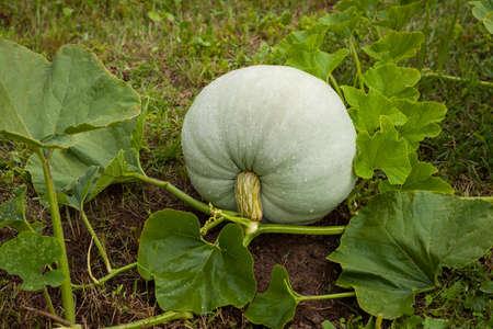 Fresh Organic Pumpkin. Ripe Pumpkin Grown On Vegetable Garden In Summertime. Stock Photo