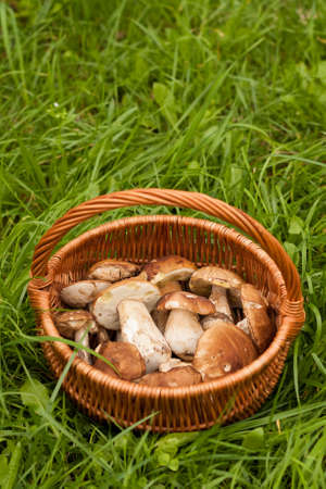 Delicate Mushrooms. Fresh Forest Edible Mushrooms In Wicker Basket On Green Grass Outdoor. Top View And Copyspace.